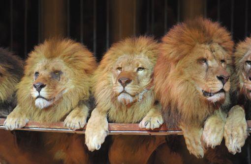 Zirkus-Löwin beißt Mädchen ins Gesicht