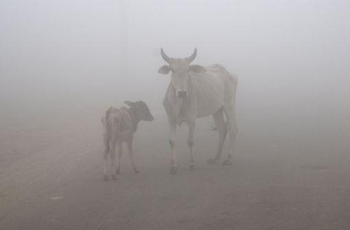 Kühe gelten in Indien als heilige Tiere. Foto: AP