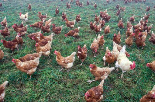 Ich wollt ich wär ein Huhn ... wirklich?