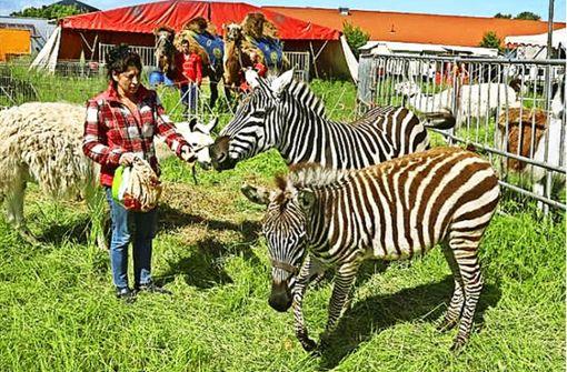 Zirkus-Chefin Manuela Baruk mit ihren beiden Zebras Shakira und Baby. Foto: Circus barukPolizeipräsidium Rheinpfalz