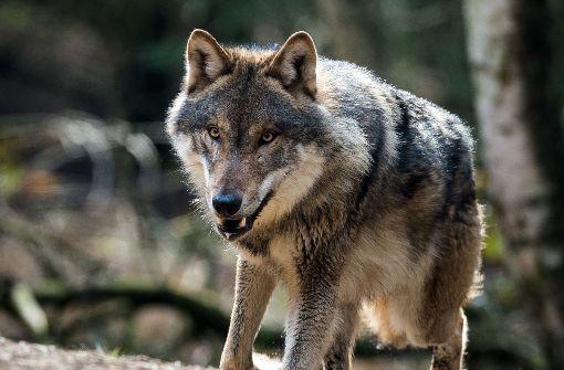 Wolf reißt Rotwild bei Freudenstadt