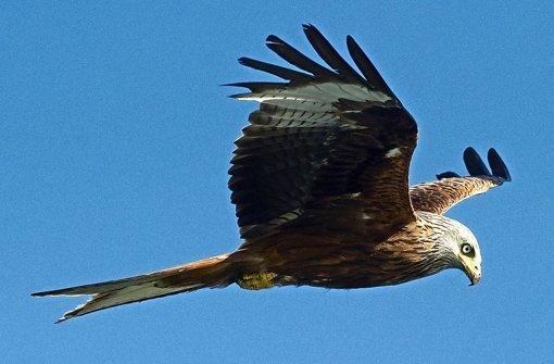Rotmilan im Flug: Der Vogel kommt in Baden-Württemberg relativ häufig vor Foto: dpa