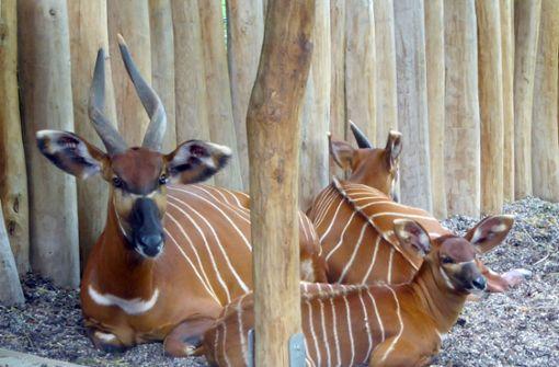 Bongos – Scheue Antilopen aus dem Urwald