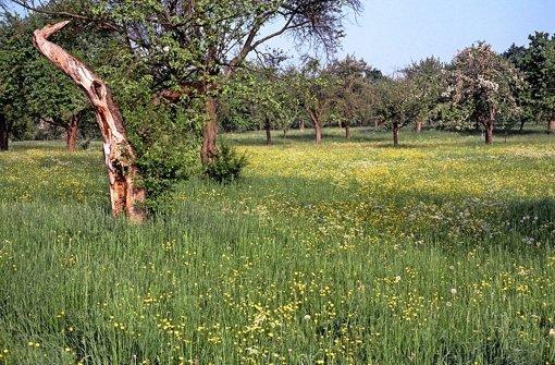 Streuobstwiesen mit alten Bäumen prägen weite Teile des Gebiets Foto: StN