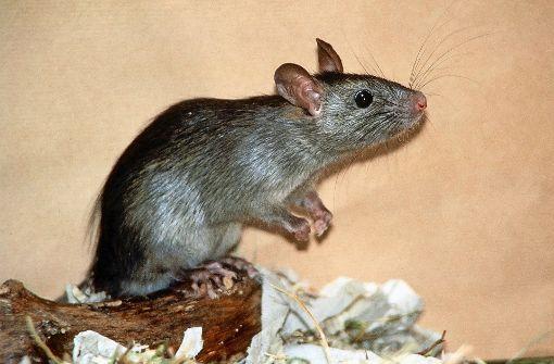 Erst ein Mord, jetzt die Ratten