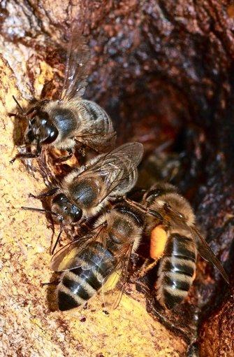 Wildbienen bauen in einem Astloch ein Nest.  Foto: Fotolia
