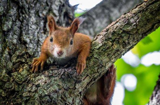 Das sind die putzigsten Eichhörnchen