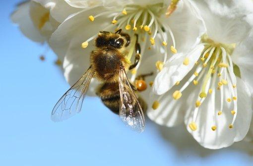 Eine Biene saugt Nektar aus einer Kirschblüte. Rund zwanzigtausend Bäume verwandeln den Talschluss der Lindach in ein herrliches weißes Blütenmeer. Foto: dpa