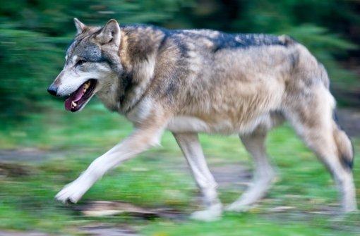 Wölfe erkennt man an den kleinen, dreieckigen Ohren und der geraden Linie, die der Rücken beschreibt. Foto: dpa