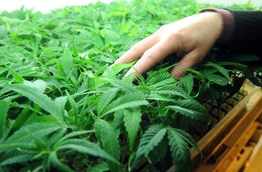 30-Jährige muss wegen Marihuana-Plantage hinter Gitter