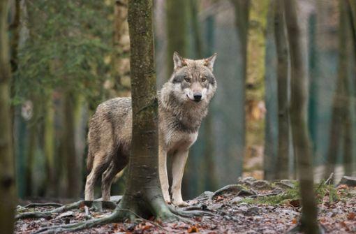 Sichtung von Wolf bei Stuttgart bestätigt
