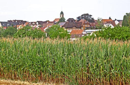 Teils gute Ernte trotz  Trockenheit