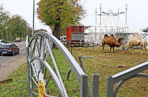 Die Kamele des Circus Althoff werden zum Zankapfel in Ludwigsburg. Foto: factum/Granville
