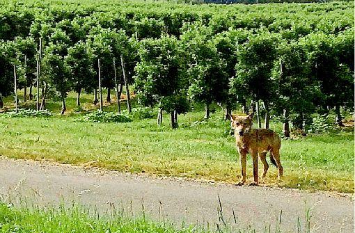 Wolf streift durch Obstplantagen