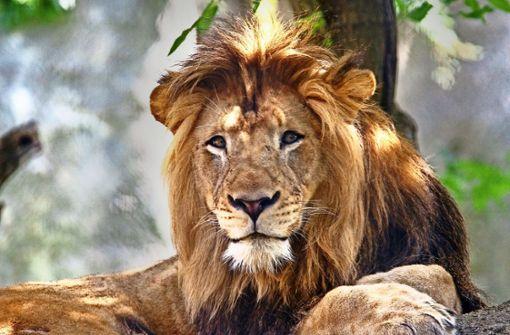Löwin tötet im Zoo den Vater ihrer Löwenjungen