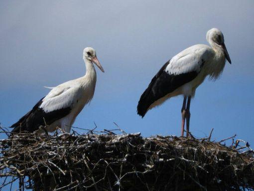 Das Nest unserer Senderstörchin Libi. Seit Dienstag sind ihre beiden Storchenjungen nicht mehr da. Sie haben sich einer größeren Gruppe Weißstörche angeschlossen.  Foto: Manfred Lehr