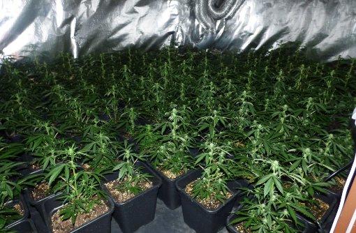 Insgesamt rund 800 Pflanzen umfasste die Zuchtanlage in Aidlingen. Foto: Polizei