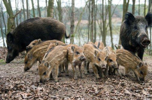 Wildschweine werden zunehmend zum Problem