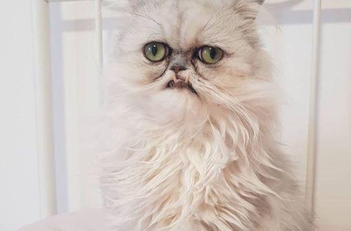 """Instagram-Katze """"Wilfred Warrior"""" spaltet das Netz"""