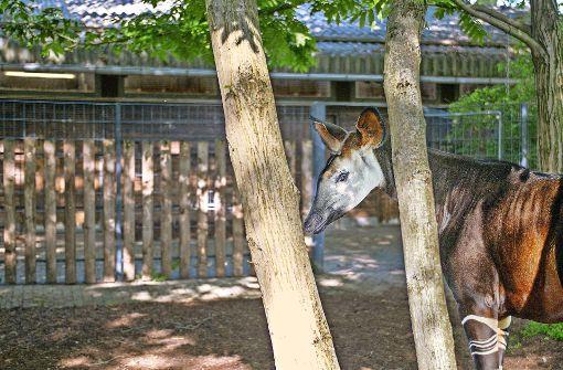 Ein Okapi Verlässt Die Wilhelma Shomari Der Okapi Bulle Aus