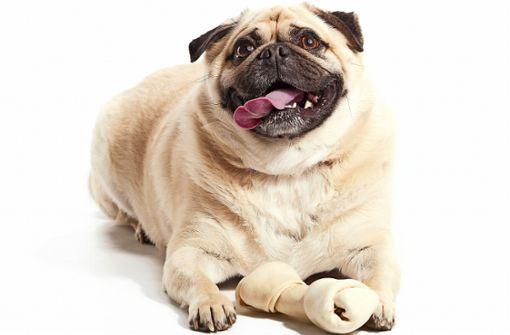 Mhmm, so ein leckerer Knochen! Vielen  Herrchen und Frauchen fällt es schwer, ihren Liebling  auf Diät zu setzen. Foto: Dan Kosmayer / Adobe Stock