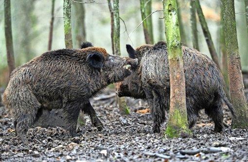 stuttgart botnang wildschweine treiben ihr unwesen botnang stuttgarter nachrichten. Black Bedroom Furniture Sets. Home Design Ideas