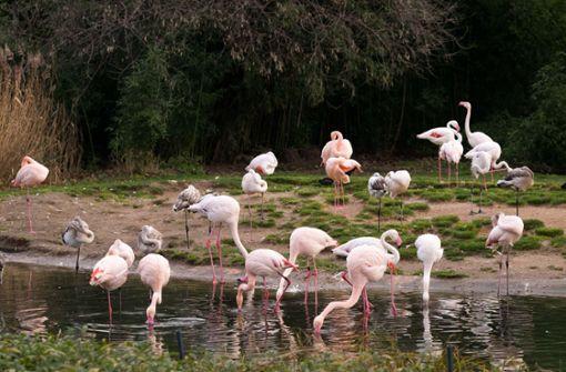 Ein junger Flamingo hatte die heimatlichen Gewässer in der Wilhelma kurzzeitig verlassen. Foto: Lichtgut/Max Kovalenko