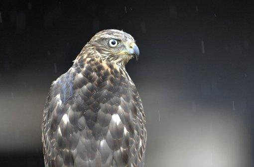 Der Habicht war der Vogel des Jahres 2015 – und wird dennoch gejagt Foto: