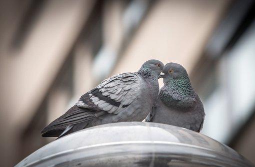 In Stuttgart soll gegen die hohe Zahl von Tauben vorgegangen werden. Foto: Lichtgut/Achim Zweygarth