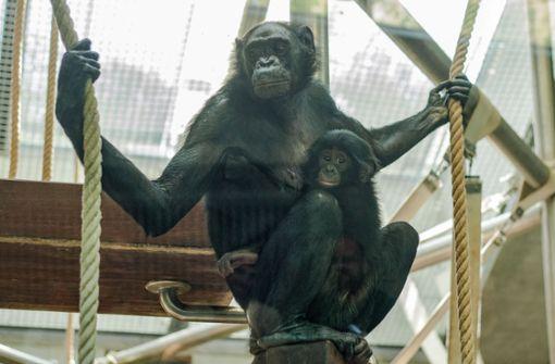 Bonobo-Oma Kombote kümmert sich liebevoll um das verstoßene Baby Xhosa. Foto: Wilhelma Stuttgart