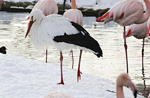 Warme Füße trotz des Schnees in Stuttgart: Im Flamingoteich der Wilhelma nehmen auch Zaungäste wie die hier überwinternden Störche warme Fußbäder. Foto: Wilhelma/Hörner