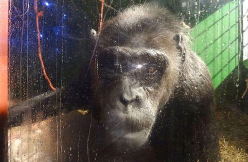 Robby, Deutschlands letzter Zirkus-Schimpanse