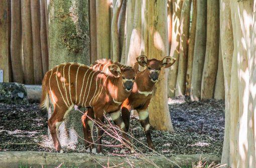 Die beiden Kälber der seltenen Waldantilopen erkunden dieser Tage erstmals das Außengelände ihres Geheges. Foto: Wilhelma Stuttgart/ Harald Knitter