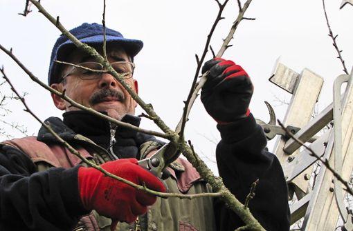 Herr Birnbaum stutzt den Apfelbaum: Der Streuobst-Guide Wolfgang Birnbaum pflegt zusammen mit anderen Freiwilligen die Streuobstwiesen rund um Filderstadt. Foto: Judith A. Sägesser