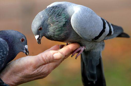 Wie ein kleines Mädchen einer Taube das Futter klaut
