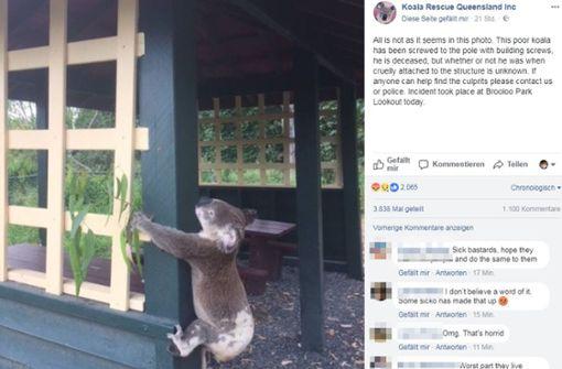 Koala in Australien an Pfosten genagelt