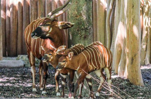 Zwei Monate nach ihrer Geburt erkunden die beiden Kälber dieser Tage das Gehege mit afrikanischem Flair. Foto:  Wilhelma Stuttgart/ Harald Knitter