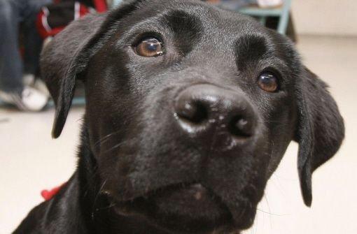 Einem zwei Jahre alter Labrador wurde in Denkendorf ein Giftköder zum Verhängnis. Foto: dpa/Symbolbild