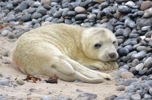 47 Robbenbabys verschwunden