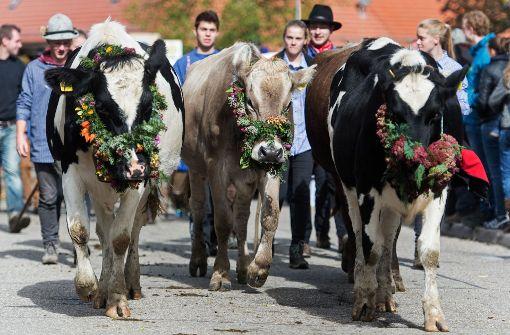 Geschmückte Kühe zurück ins Tal geführt