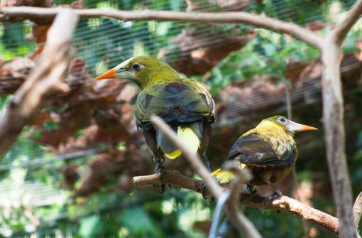 Farbintensiv schillert das Gefieder der Grünschopfstirnvögel.  Foto: Wilhelma Stuttgart