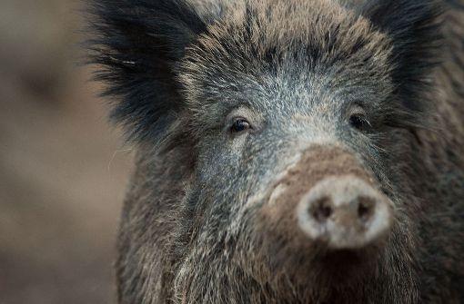 Drei Wildschweine bei Unfällen getötet