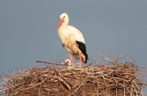 In der Böhringer Storchenkolonie schauen die ersten Jungtiere aus den Nestern. Foto: Hanspeter Wickert
