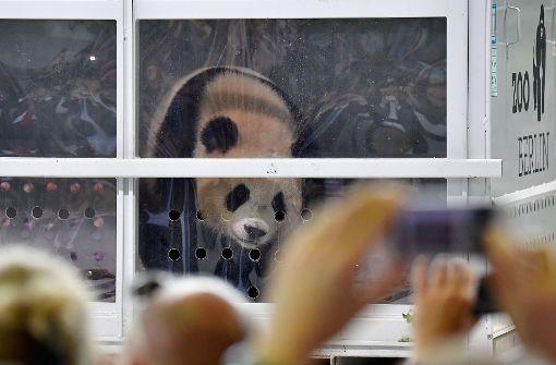 Panda-Pärchen aus China in Berlin gelandet