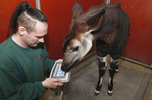 Wilhelma In Stuttgart Mit Vereinten Kräften Für Okapi Kalb Nyota