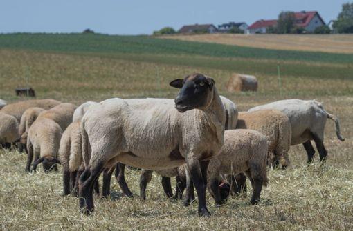 Im Nordschwarzwald sind wieder Schafe gerissen worden