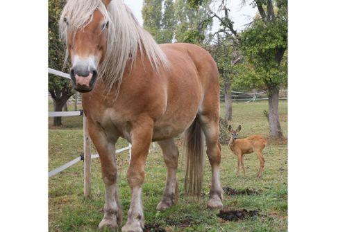 Einsames Rehkitz sucht nähe zu Pferden