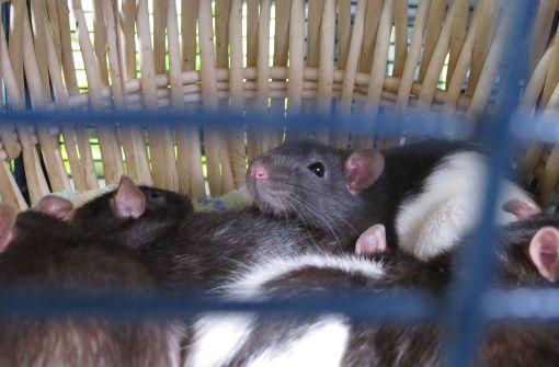 Diese Ratten sind im Tierheim geboren worden. Denn ein Tier war trächtig und hat gleich 15 Junge bekommen.  Foto: Malte Klein