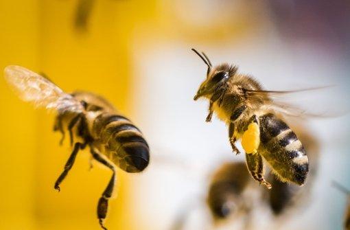 Gesunde Bienen tragen volle Pollenhöschen nach Hause. Foto: dpa