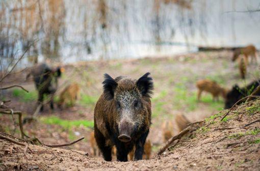 So will Hauk gegen die Schweinepest vorgehen